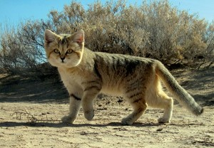Felinestinians claim they are direct descendants of Sand Cats.